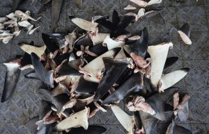 Shark Fins in Indonesia