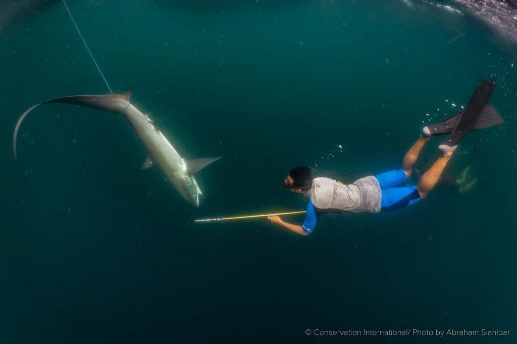 Rafid, ketua Thresher Shark Project Indonesia, melakukan tagging